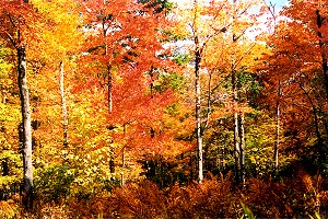 A Symphony of Autumn Color in Forbes State Forest